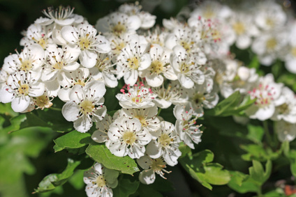 hawthorn is a traditional remedy for high blood pressure