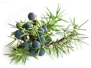 common juniper with berries