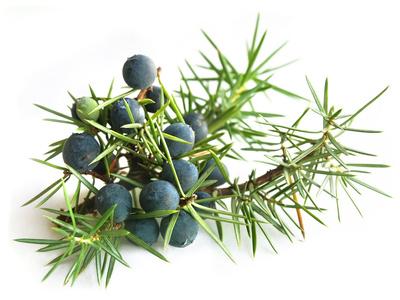 juniper is one of a number of herbal remedies used for UTIs