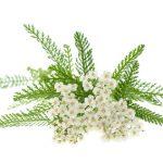 Achillea millefolium is a valuable herbal medicine