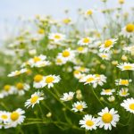 chamomile flowers are a well known herbal remedy