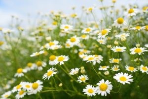 chamomile - a helpful digestive remedy