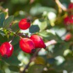 rosehips herbal medicine