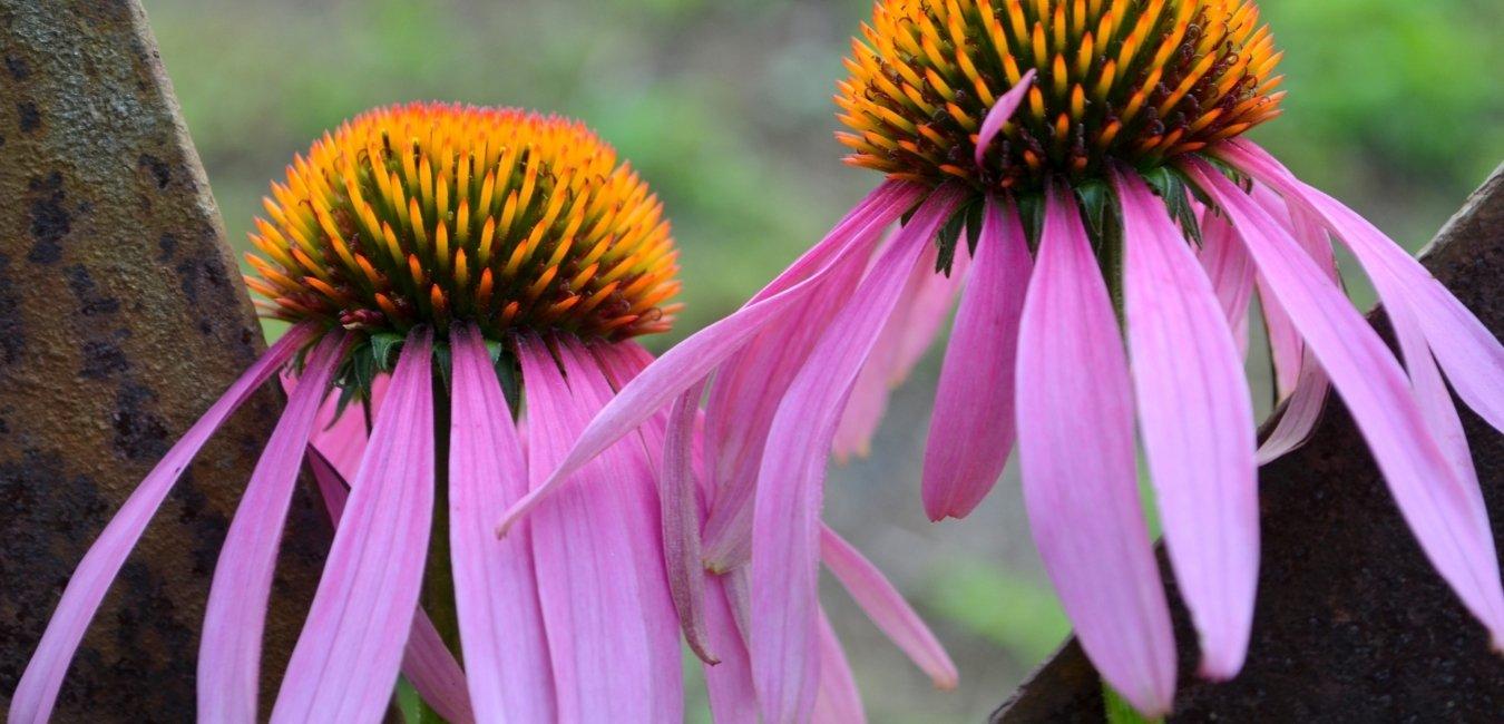 echinacea flowring herb used by herbalist
